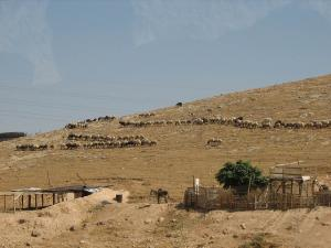 Bedoin herds